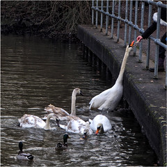 342.4 Lunch (Dominic@Caterham) Tags: swans ducks water lake feeding