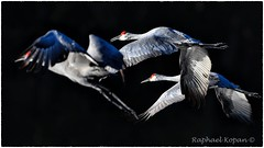 Cranes departing (RKop) Tags: raphaelkopanphotography nikon nature wildlife birds flight d500 600mmf4evr florida tampa