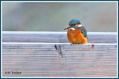 Martin-Pêcheur 191208-09-P (paul.vetter) Tags: nature faune oiseau vogel bird martinpêcheur alcedoatthis commonkingfisher martínpescadorcomún guardarios eisvogel alcédinidé