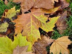 Lovely leaves (penelopephotoshop) Tags: alexandrapark manchester uk england urban urbanenvironment urbanlandscape grass leaves autumnalcolours park parkland green brown orange rusty red