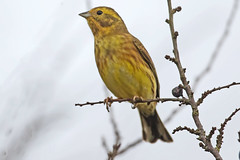 Yellowhammer (drbut) Tags: yellowhammer emberizacitrinella avian bird birds farmland countryside wildlife nature