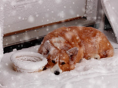SnowyBaileeAtDoor (kfwckcda23) Tags: dog pets snow winter canine welshcorgie