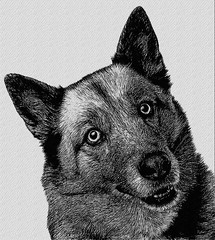 Mixed Breed Dog Of A Husky And A German Shepherd (Bob Smerecki) Tags: animal background belgian blue breed canine dog doggy domestic eyes husky mammal mixed one pedigree pedigreed pet purebred shepherd studio white