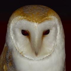 effraie des clochers (tyto alba) (pierre.pruvot2) Tags: baguedor belgique élevage exposition roeselare roulers show barnowl chouette dameblanche oiseau bird panasonic lumixgx80