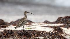Courlis corlieu (gilbert.calatayud) Tags: charadriiformes courliscorlieu numeniusphaeopus scolopacidés whimbrel bird oiseau pajaro zarapito trinador island île seychelles océan indien