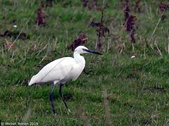 Aigrette garzette (Egretta garzetta) (zogt2000 (No Video)) Tags: aigrettegarzette egrettagarzetta oiseau bird