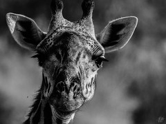 THE GIRAFFE (eliewolfphotography) Tags: giraffe giraffes endangered wildlife wildlifephotographer wildlifephotography nature naturelovers nikon naturephotography natgeo naturephotographer conservation conservationphotography animals africa serengeti safari