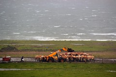 (Zak355) Tags: rothesay bute isleofbute scotland scottish farm farming cattle cows