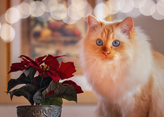 What's the fun about Christmas decorations you can't eat ? (FocusPocus Photography) Tags: tofu dragon katze kater cat weihnachtsstern poinsettia blume flower dekoration decoration weihnachten christmas