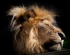 PA090320 (jopowney) Tags: bigcatsanctuary bigcatsaboutthehouse bigcat beauty beautyatitsbest wildlife naturesfinest dangerous photographyday natureinfrontofthelens dontcomeanycloser lion sleeping