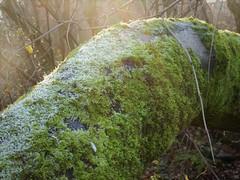 Dappled light (penelopephotoshop) Tags: alexandrapark manchester uk trees moss trunk frosty nature naturalbeauty england twigs leaves leafless urban urbanenvironment urbanlandscape deciduous