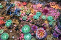 Colorful Tidal Pool Life (Phil's Pixels) Tags: oregoncoastaquarium aquariums tidalpoolexhibit tidalpoollife tidalpool seaanemones starfish newport oregon