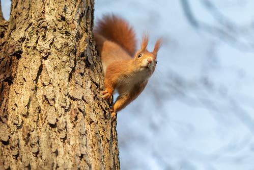 Bhujangasana - squirrel style