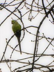Indian ring-necked parakeet (penelopephotoshop) Tags: alexandrapark manchester uk indianringneckedparakeet england leafless deciduous trees nature park parkland urban urbanenvironment urbanlandscape parklife