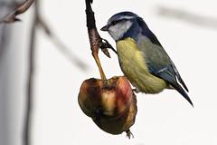 Mésange (lespittets1) Tags: bird oiseau mésange canon80d100400mmliiis garden jardin