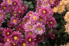 Pink (imtiazchaudhry) Tags: flowers floral plants petals leaves colorful colored pretty nature