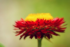 Red (Jess Roberts7) Tags: red yellow green flower plant garden nature macro canon 90mm dof closeup petals