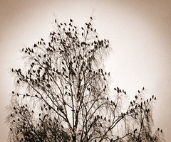 birds gathering at sunset (krøllx) Tags: bw nikc atmosphere birds blackandwhite monochrome nature norway sunset tree trondheim trøndelag