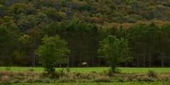 Bull elk pano (michaelstafford5) Tags: elk bullelk paelkcountry pawilds paelkherd thepawilds pennsylvaniawilds pennsylvaniaelkcountry pennsylvania wildlifelandscape landscapephotography wildlifephotography pentax pentaxart pentaxian