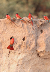Southern Carmine Bee-Eaters (peterkelly) Tags: digital canon 6d africa namibia capetowntovicfalls intrepidtravel bagani cubangoriver southerncarminebeeeater birds bird colony flock nest hole bluff cliff