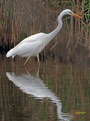 Garceta grande (Egretta alba) (48) (eb3alfmiguel) Tags: aves zancudas ciconiiformes ardeidae garceta grande egretta alba