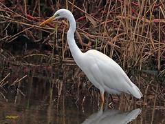 Garceta grande (Egretta alba) (36) (eb3alfmiguel) Tags: aves zancudas ciconiiformes ardeidae garceta grande egretta alba