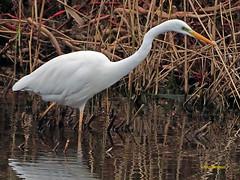 Garceta grande (Egretta alba) (34) (eb3alfmiguel) Tags: aves zancudas ciconiiformes ardeidae garceta grande egretta alba