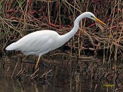 Garceta grande (Egretta alba) (33) (eb3alfmiguel) Tags: aves zancudas ciconiiformes ardeidae garceta grande egretta alba