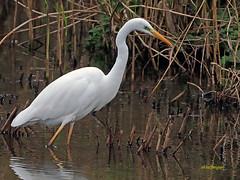 Garceta grande (Egretta alba) (32) (eb3alfmiguel) Tags: aves zancudas ciconiiformes ardeidae garceta grande egretta alba