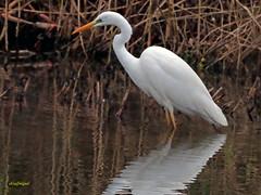 Garceta grande (Egretta alba) (30) (eb3alfmiguel) Tags: aves zancudas ciconiiformes ardeidae garceta grande egretta alba