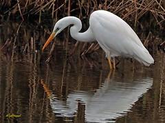 Garceta grande (Egretta alba) (28) (eb3alfmiguel) Tags: aves zancudas ciconiiformes ardeidae garceta grande egretta alba