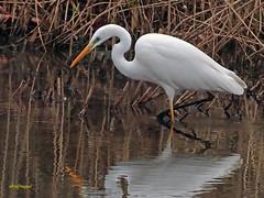 Garceta grande (Egretta alba) (19) (eb3alfmiguel) Tags: aves zancudas ciconiiformes ardeidae garceta grande egretta alba