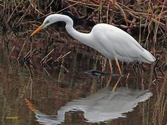 Garceta grande (Egretta alba) (1) (eb3alfmiguel) Tags: aves zancudas ciconiiformes ardeidae garceta grande egretta alba