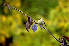 all fluffed out (1crzqbn) Tags: bird nature sliderssunday inmygarden textures 1crzqbn outside light sunlight bokeh yellow