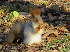 Russian Red Tree Squirrel. (Vitaly Giragosov) Tags: sevastopol crimea rf russianredtreesquirrel sciurusvulgarisexalbidus mammals белкателеутка севастополь крым рф