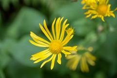 sBs_1907(vac2)_0078-2 (schoolartBYschoolboy) Tags: auvergne puydedome lake forest vulcan flower closeup yellow