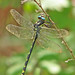 7th Day of Christmas Dragonflies:   an Arrowhead Spiketail