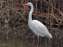 Garceta grande (Egretta alba) (38) (eb3alfmiguel) Tags: aves zancudas ciconiiformes ardeidae garceta grande egretta alba