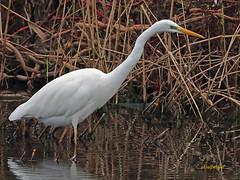 Garceta grande (Egretta alba) (35) (eb3alfmiguel) Tags: aves zancudas ciconiiformes ardeidae garceta grande egretta alba