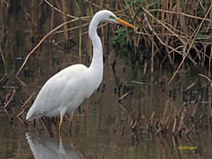 Garceta grande (Egretta alba) (31) (eb3alfmiguel) Tags: aves zancudas ciconiiformes ardeidae garceta grande egretta alba