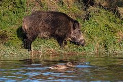 Jabalí (Tito Garcia Niño) Tags: jabalí remolarfilipines animales deltadelllobregat mamifero natura naturaleza nature porcsenglar reservanatural susscrofa