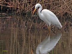 Garceta grande (Egretta alba) (24) (eb3alfmiguel) Tags: aves zancudas ciconiiformes ardeidae garceta grande egretta alba