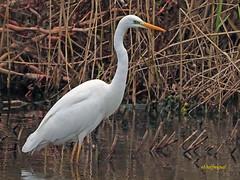 Garceta grande (Egretta alba) (7) (eb3alfmiguel) Tags: aves zancudas ciconiiformes ardeidae garceta grande egretta alba