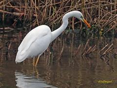 Garceta grande (Egretta alba) (5) (eb3alfmiguel) Tags: aves zancudas ciconiiformes ardeidae garceta grande egretta alba