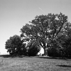 Great Oak - Scandiano (Reggio Emilia) - October 2019 (cava961) Tags: oak scandiano analogue analogico monochrome monocromo bianconero bw 6x6 foma400 mamiya6