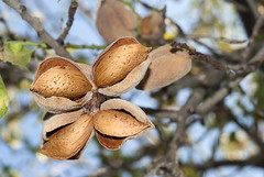 almonds on the tree (news.elgreco) Tags: almonds almond driedfruit tree harvest branches leaves shell cultivation vegetable garden soil sweets cream biscuits cake cosmetics shampoo beauty detergent wellnes bath foam bubblebath granita icecream italy