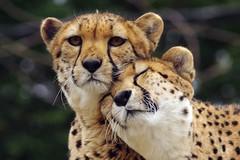 You have my Trust and Loyalty -- 0258 (xatnep21) Tags: phila philadelphia philly philadelphiazoo zoo bigcat cat cheetah sisters amani kalima