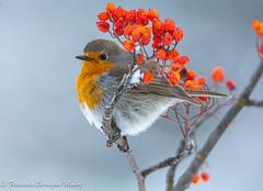 Petirrojo (barragan1941) Tags: birds pajaros petirrojo flowers wings winter