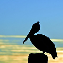 Pelican Silhouette (jimpillion) Tags: silhouette pelican pelicansilhouette wildlife sunrise nature naturephotography murrellsinlet southcarolina