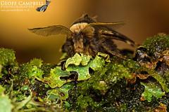 December Moth (Poecilocampa populi) (gcampbellphoto) Tags: poecilocampa populi december moth insect macro nature wildlife north antrim northern ireland gcampbellphoto outdoor animal wood